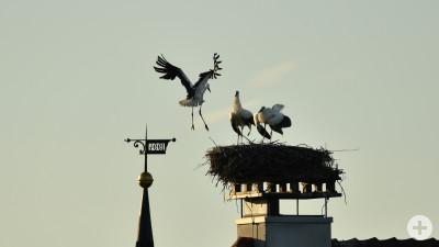 Störche bei der Landung
