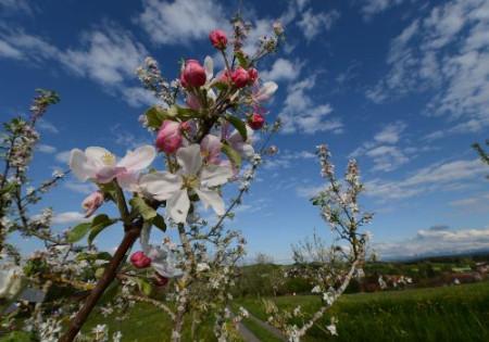 Blühender Apfelbaumzweig